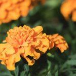 September Marigolds